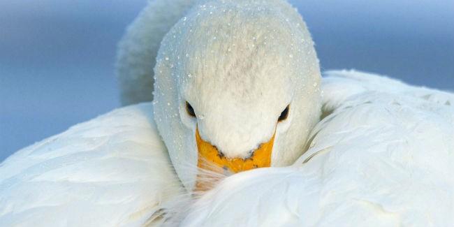 Гражданин Омской области спас краснокнижного лебедя отбродячих собак