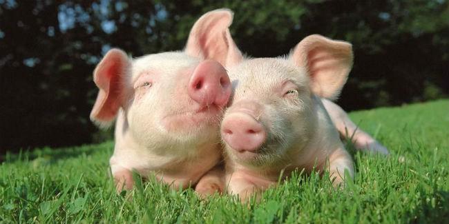 ВОмской области победили африканскую чуму свиней