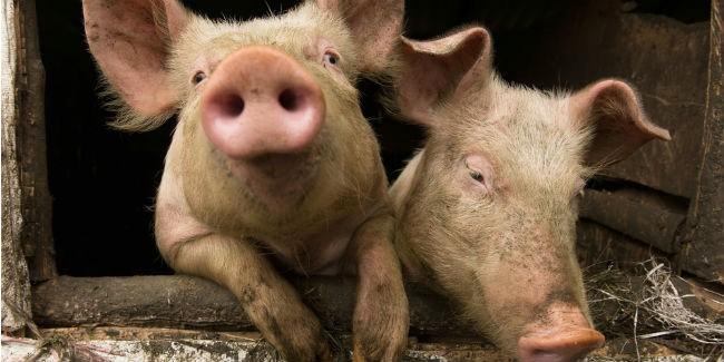 Первые компенсации зауничтоженных из-за АЧС свиней получили сельчане вОмской области