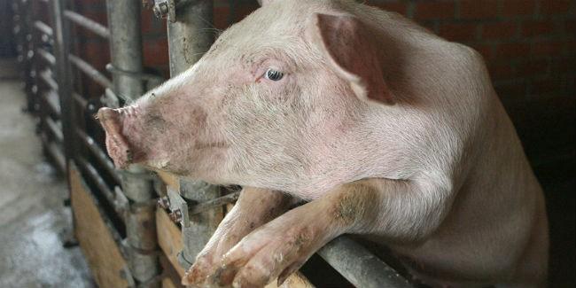 ВОмске обнаружили 1-ый очаг чумы свиней