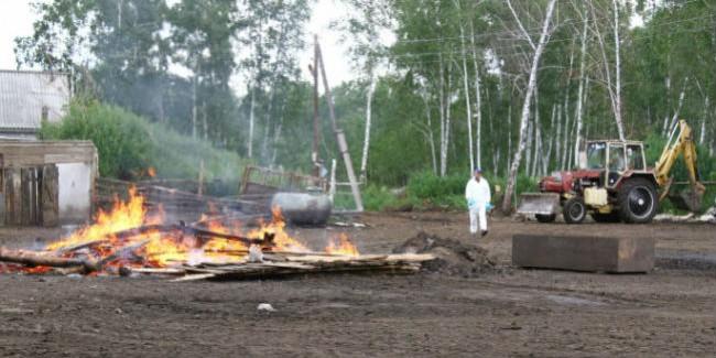 ВОмской области неменее 700 свиней сожгут из-за АЧС
