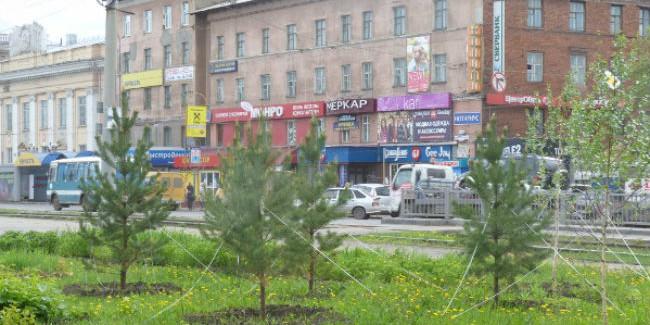 ВОмске наулице Богдана Хмельницкого вместо срубленных иввысадили сосны